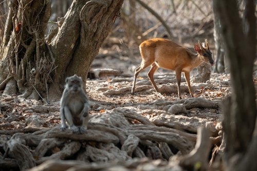 Deer and monkey in West Bali National Park