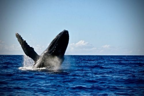 Whale Watching, Canada