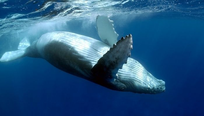 Best Time to Visit Costa Rica - Humpback whale