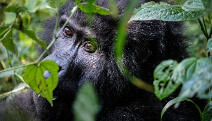 Best Time to Visit Uganda - Gorilla