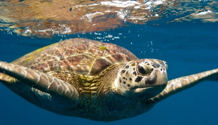 Best Time to Visit Costa Rica - green turtle