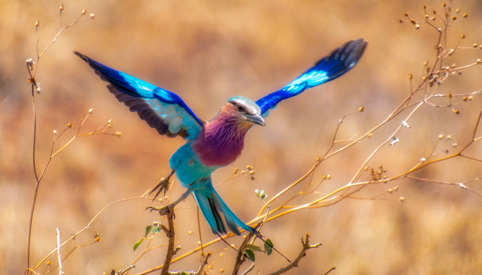 Lilac Breasted Roller in Tanzania