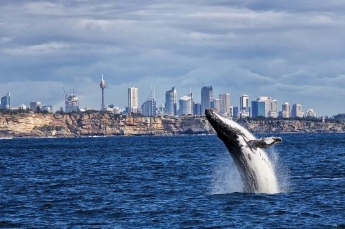 Sydney Whale Watching