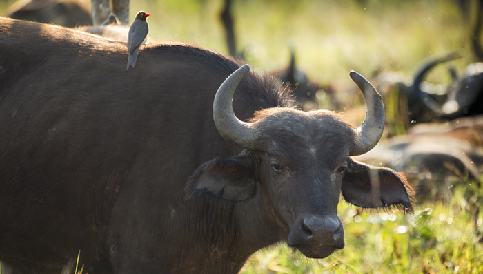 Buffalo in Kruger, South Africa