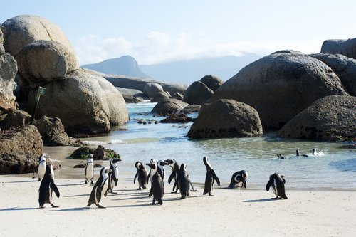 Penguin Colony Swim