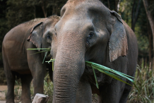 Elephant with bamboo, Golden Triangle