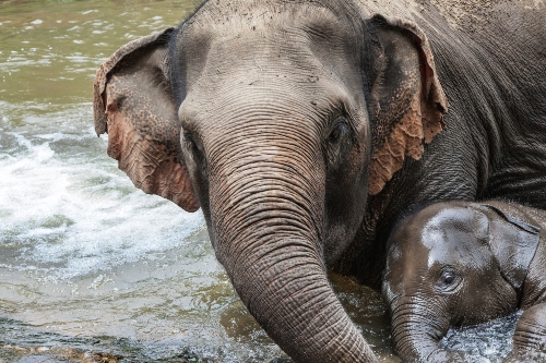 Mother elephant bathing with her baby, Mae Wang, Chiang Mai, Thailand.