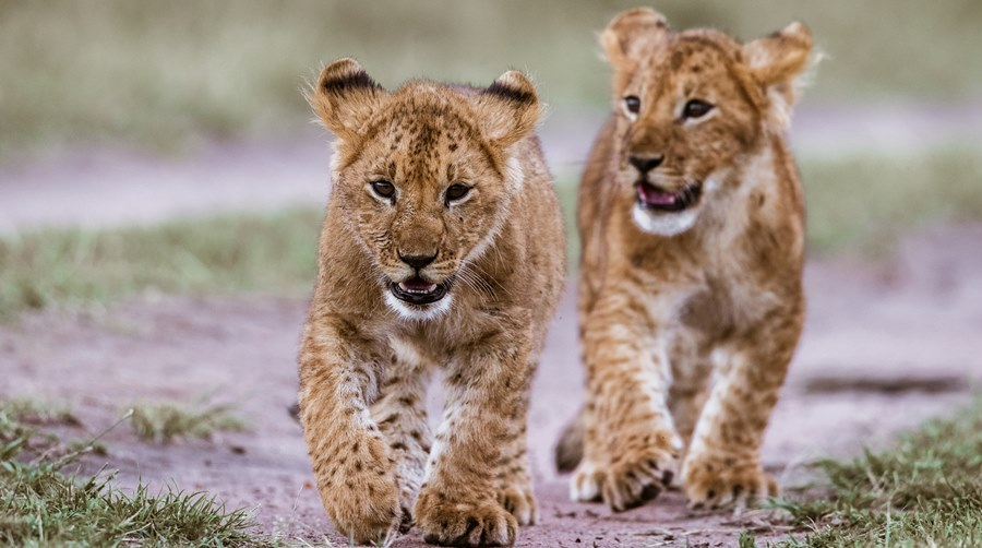 Lion cubs walking in the wild.