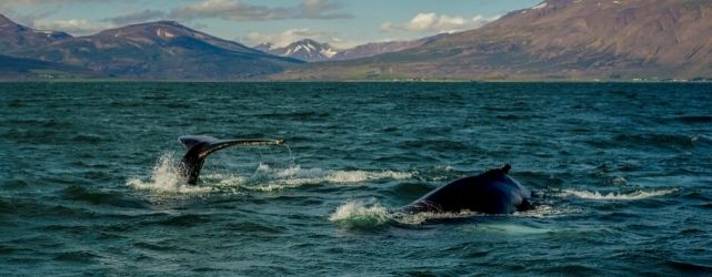 Iceland, whale watching