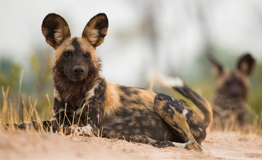 Wild dog, Selous Reserve