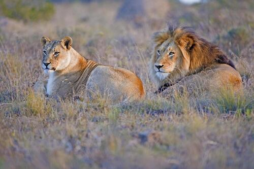 Lions - Credit Hlosi Game Lodge