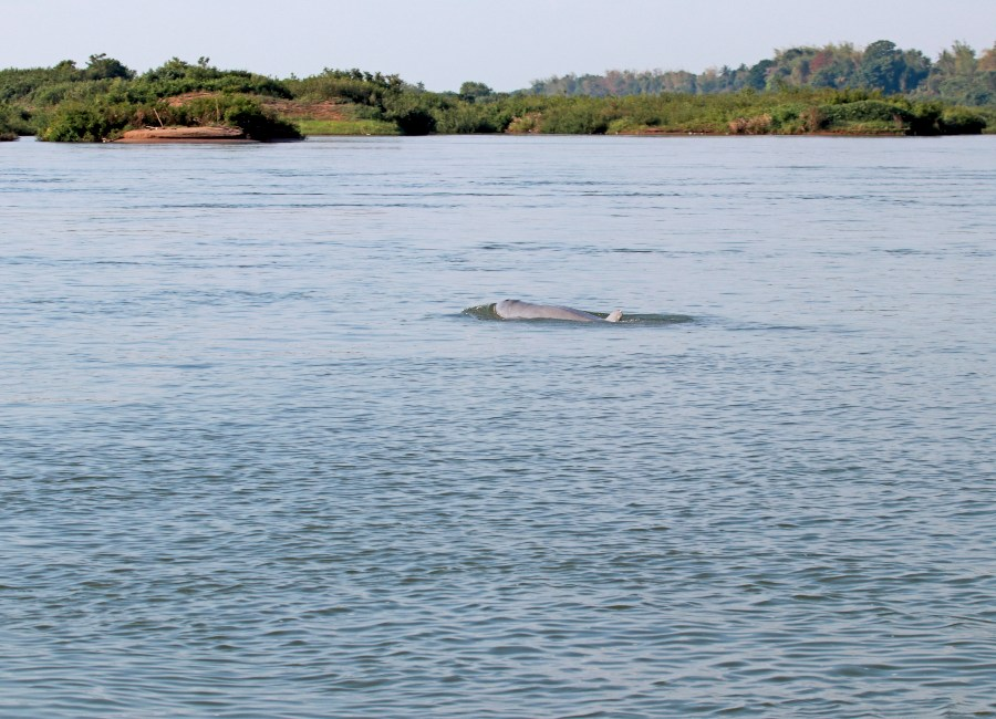 Irrawaddy Dolphins seen in the Mekong River, Cambodia