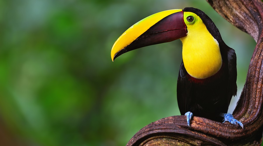 toucan in the rainforest of costa rica