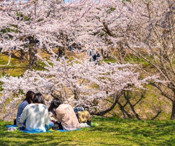 Picnic in the park under cherry blossom, Tokyo, Japan