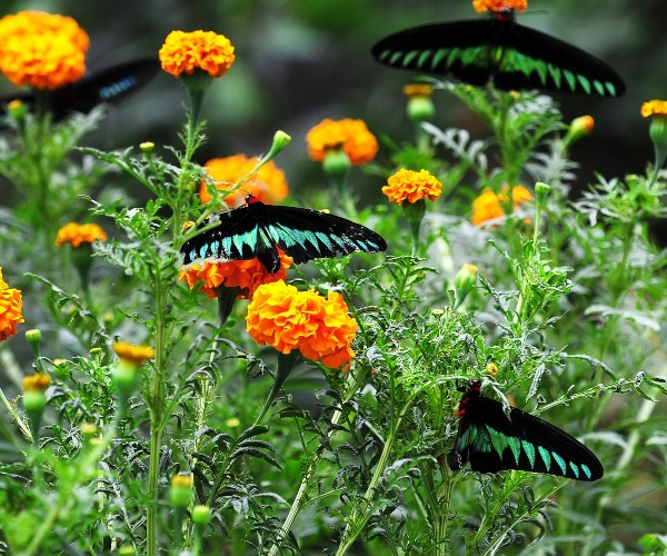 Butterflies in the Cameron Highlands, Malaysia