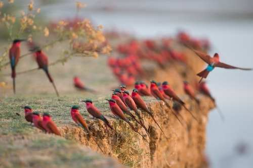Carmine bee eaters Time+Tide
